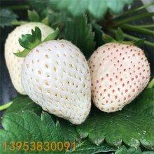 泰安白草莓苗價格白草莓苗多少錢2019小白草莓苗批發白草莓苗介紹