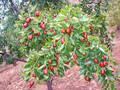 磨盘枣树苗.磨盘枣树苗种植环境图片