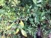 多少钱卖,矮丛蓝莓苗,一年苗