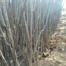 河东香椿树苗管理方法