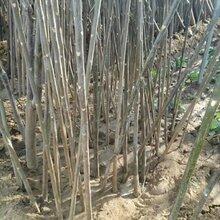益阳香椿树苗厂家供货