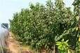 八仙红樱桃树苗丨硕果梨树苗