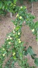 一年李子苗_女神李子树8月份基地拍摄图片