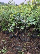 内蒙古半高丛蓝莓苗丶半高丛蓝莓苗调价汇总图片