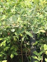 澳门高丛蓝莓树丶高丛蓝莓树哪里买图片
