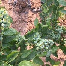 云南矮丛蓝莓苗丶矮丛蓝莓苗调价汇总图片