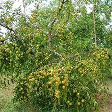 台湾八公分蜂蜜罐枣树苗单棵图片