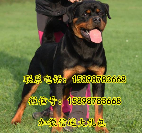比特犬跟德国牧羊犬,罗威纳,哪个品种比较听话,聪明,服从指令,咬合力强攻击性强?我准备训猎犬,谢谢