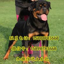 芜湖县罗威那多少钱一条图片