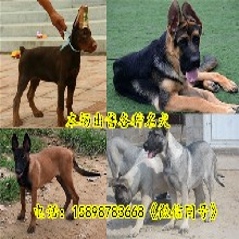 膠州市什么地方有馬犬出售圖片