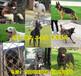 赫章縣哪里有馬犬賣常年出售