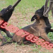 云陽縣馬犬價格圖片
