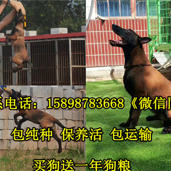 大邑县出售马犬幼犬
