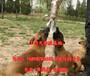 柘荣县哪里有马犬卖包养活