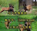 孟村最好的马犬多少钱