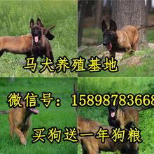 雅江县最好的马犬多少钱图片