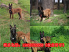 柘荣县哪里有马犬卖训练基地