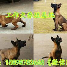 云阳县马犬幼犬价格图片