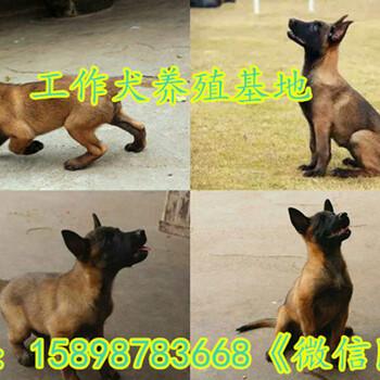 嘉祥县出售马犬幼犬