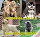 江蘇南京雨花臺純種博美犬哪里有賣的