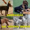 富顺县哪里有卖马犬的