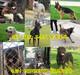 云南保山施甸县哪里有卖拉布拉多小狗