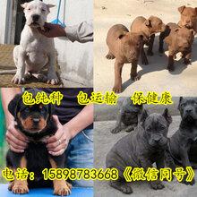 河南洛阳老城两个月的狼青犬价格图片