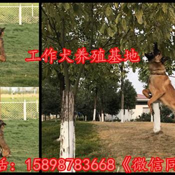 青海果洛甘德县拉布拉多犬多少钱一只