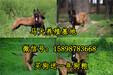 西藏自治日喀则谢通门县三个月的狼青犬多少钱