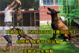 陕西商洛镇安县狗场在哪个位置出售30多种名犬