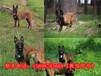 安鄉縣哪里有馬犬賣警犬繁殖