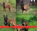 西藏自治林芝波密县狗场品质好的图片
