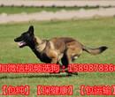 北京密云县成年罗威纳犬价格图片