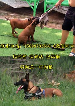 昌图县金毛犬常年出售