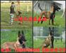 桑植縣哪里有馬犬賣常年出售