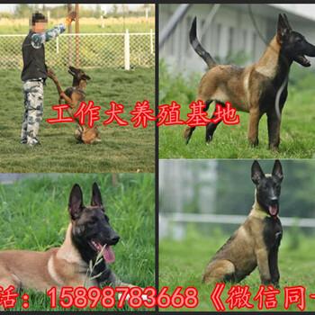 陕西延安黄龙县黑背小狗几个月长大