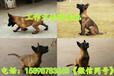 华安县哪里有卖马犬的(满意付款)