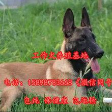 山东日照岚山什么地方有卖中亚牧羊犬的图片