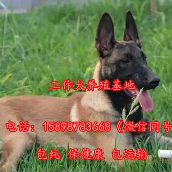 沧县哪里有卖金毛犬的