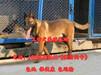 云南文山西畴县哪里有出售莱州红犬的