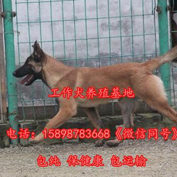 泽库县金毛犬常年出售