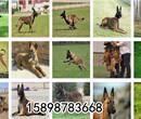山西晋城拉布拉多价格大型养狗基地图片