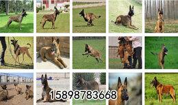 青海海南黑狼犬价格大型养狗场图片0