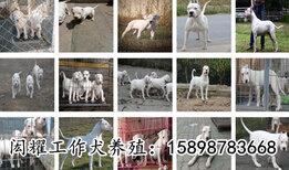 云南大理马犬价格狗场联系方式图片1