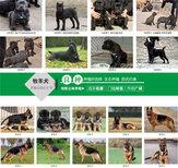 青海海南黑狼犬价格大型养狗场图片4