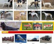 青海海南黑狼犬价格大型养狗场图片5