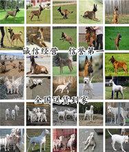 漳州东山马犬大型养狗场图片