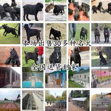 三明宁化黑狼犬大型养狗场大小都有图片