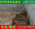 克孜勒苏纯种野猪散养基地
