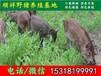 广州野猪厂家哪家好